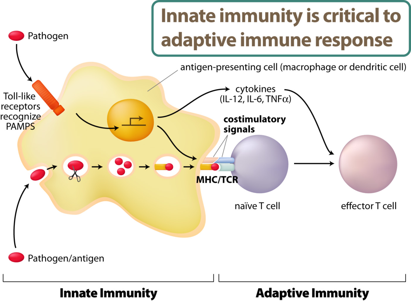 The innate immune system directly recognize pathogens such as virus or bacteria. The activation of innate immunity will allow antigen-specific immune responses by lymphocytes – adaptive immunity.