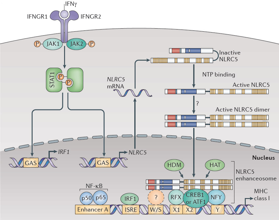 NLRC5 / CITA (MHC class I transactivator) is required for MHC class I expression. See our recent work in Nature Rev Immunol 12:813-20 (2012).