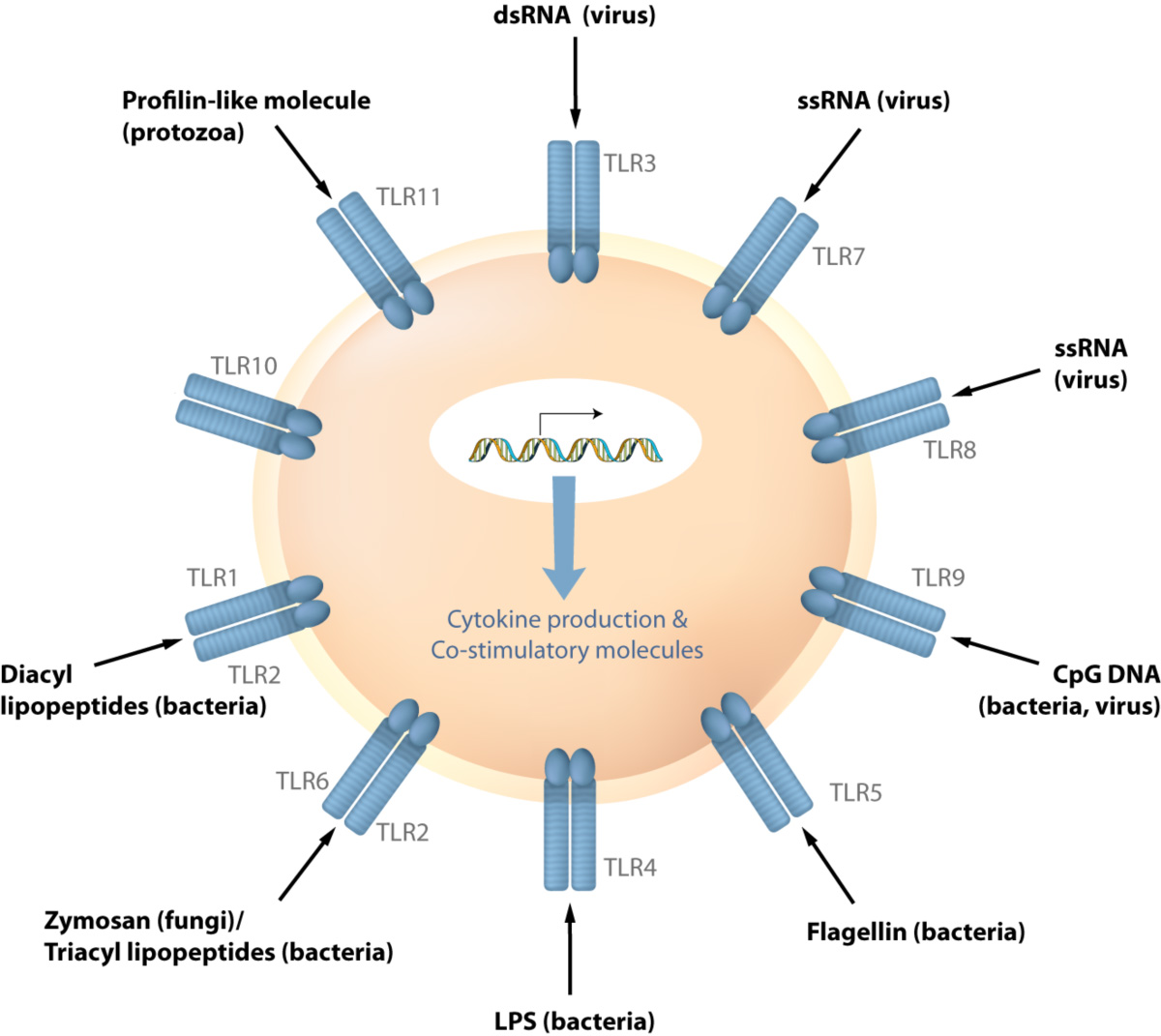 TLRs are receptor to detect pathogens such as virus or bacteria. Upon recognition of microbes the cascade of signaling is activated to induce various immune response genes.